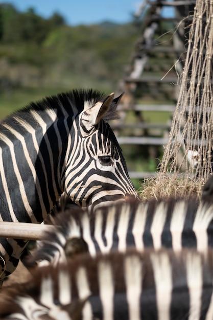 Olho de zebra Foto gratuita
