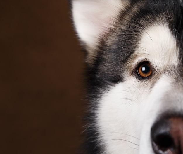 Olho do malamute do alasca Foto Premium