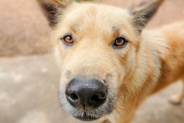 Olhos de cachorro cheios de perguntas e querem lutar. ele também é o melhor amigo de um homem. Foto Premium