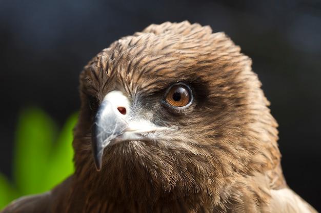 Olhos olhando da águia (papagaio negro, papagaio pariah) Foto Premium