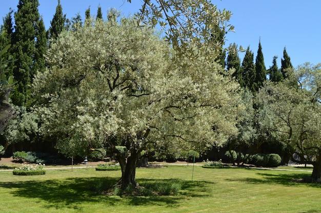 Oliveiras com ramos de flores na primavera parque Foto Premium