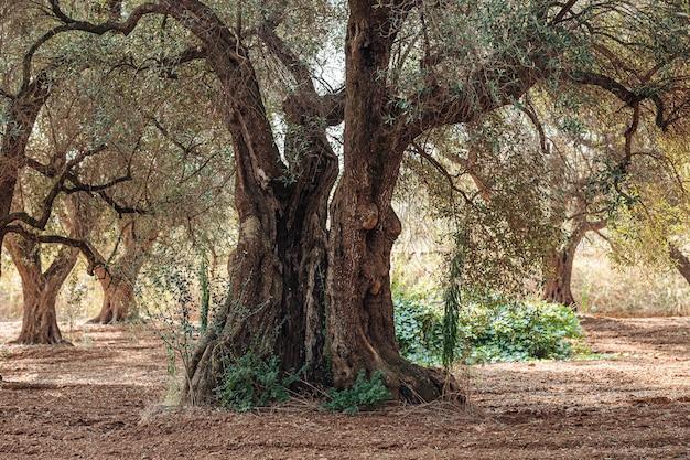Oliveiras doentes de xylella em salento, apúlia sul, itália Foto Premium