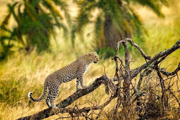 Onça-pintada selvagem nos galhos de uma árvore, chita na árvore do serengeti Foto Premium