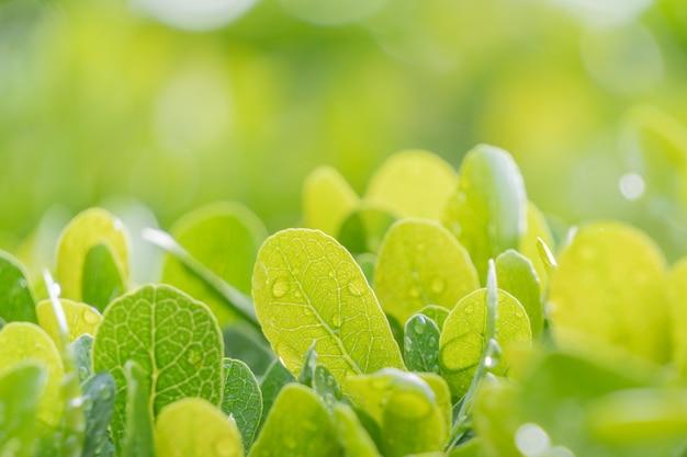 Opinião do close-up da natureza, o verde folheia no jardim durante o verão com luz do sol. efeito de foco de foco atrás das folhas. a paisagem natural da planta. Foto Premium