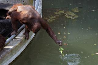 Orangotango de alongamento para alimentos Foto gratuita