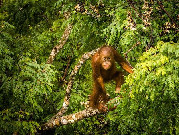 Orangotango selvagem bebê comendo frutas vermelhas na floresta de bornéu malásia Foto Premium