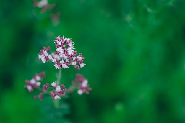 Orégano origanum vulgare roxo violeta flores na natureza Foto Premium