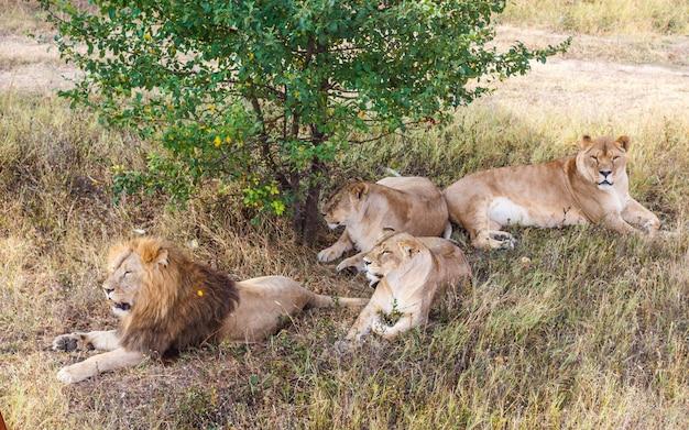 Orgulho de leão debaixo de uma árvore em savannah Foto Premium