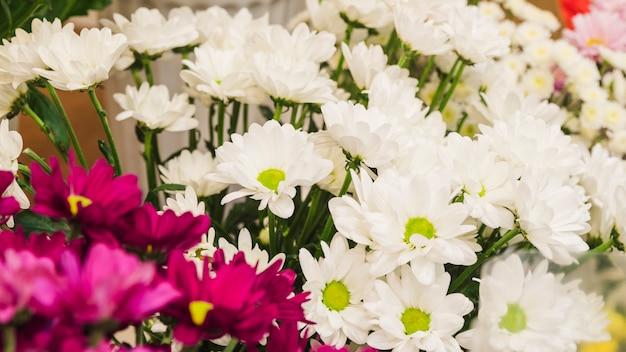 Origens de flor branca e rosa de camomila Foto gratuita