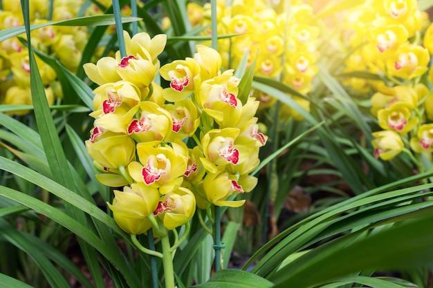 Orquídea amarela cymbidium tem pontas de flores altamente decorativas. Foto Premium