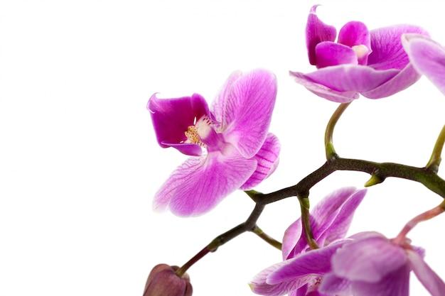 Orquídea isolada no branco Foto Premium