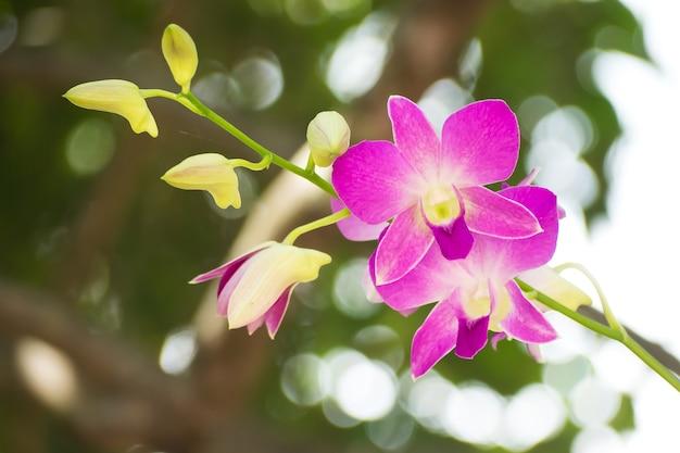 Orquídea roxa, dendrobium Foto Premium