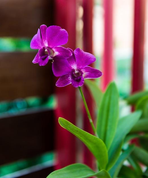 Orquídeas rosa profundo Foto Premium