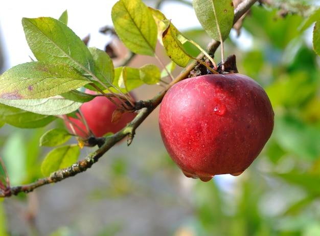 Orvalho na maçã vermelha Foto Premium