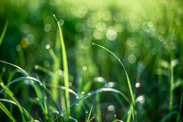 Orvalho nas folhas da grama na manhã de primavera Foto Premium
