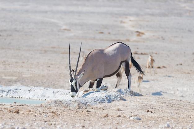 Oryx ajoelhado e bebendo do poço de água à luz do dia Foto Premium