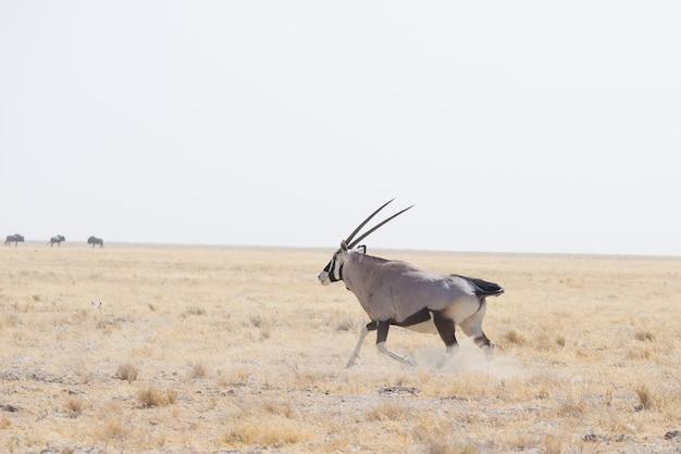 Oryx que está no savana africano, o parque nacional majestoso de etosha, o melhor destino do curso em namíbia, áfrica. Foto Premium