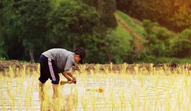 Os agricultores estão plantando arroz na fazenda com espaço de cópia, trabalhando nas montanhas Foto Premium