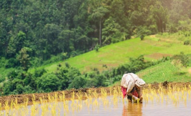 Os agricultores estão plantando arroz na fazenda Foto Premium