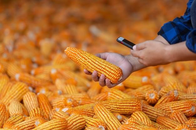 Os agricultores estão verificando as espigas de milho em seus campos, milho para alimentação animal. pelo celular. Foto Premium