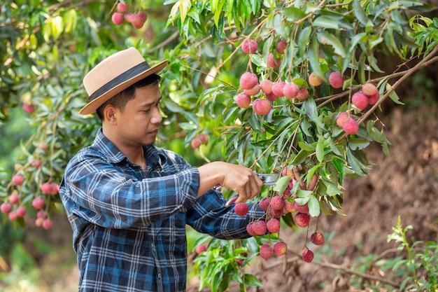 Os agricultores seguram cheques de lichia no jardim. Foto gratuita