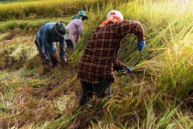 Os agricultores tailandeses estão colhendo arroz nos campos, na mais alta temporada. Foto Premium