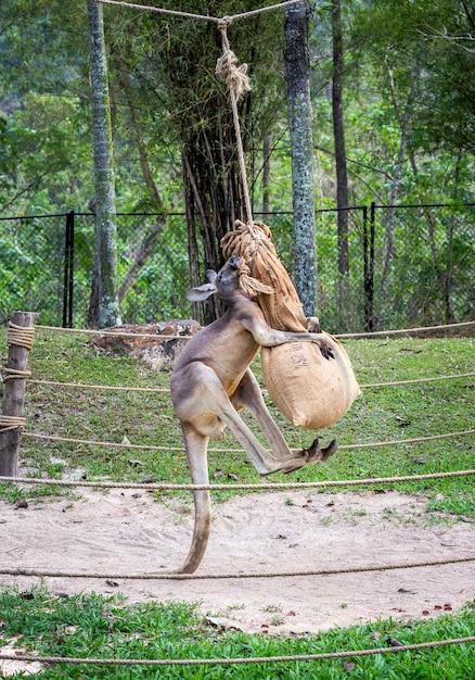 Os cangurus estão se exercitando para praticar a luta. Foto Premium