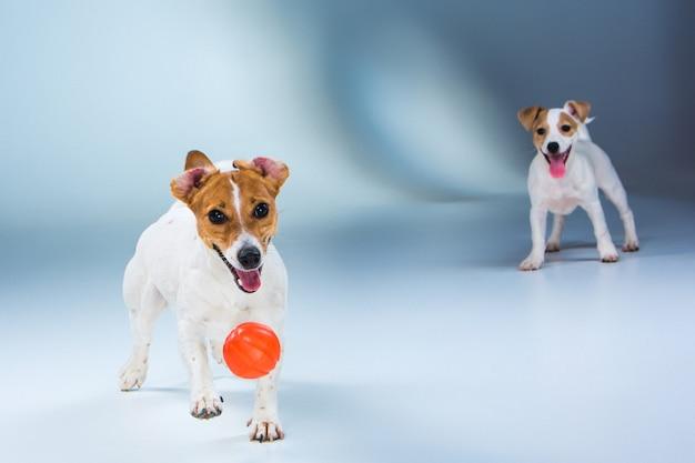 Os dois jack russell terrier em pé no cinza Foto gratuita
