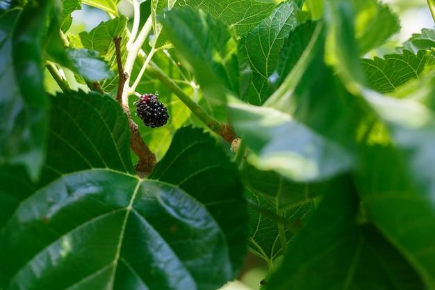 Os frutos maduros e frescos da amoreira preta amadureceram em um ramo de árvore. Foto Premium