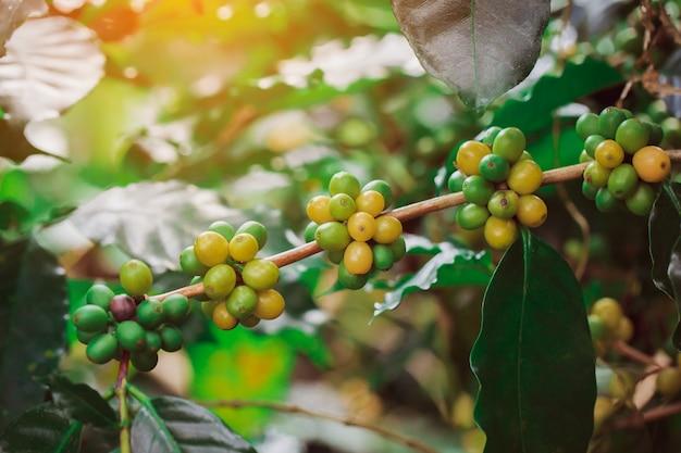 Os grãos de café arábica colorem catimor amarelo amadurecendo na árvore Foto Premium