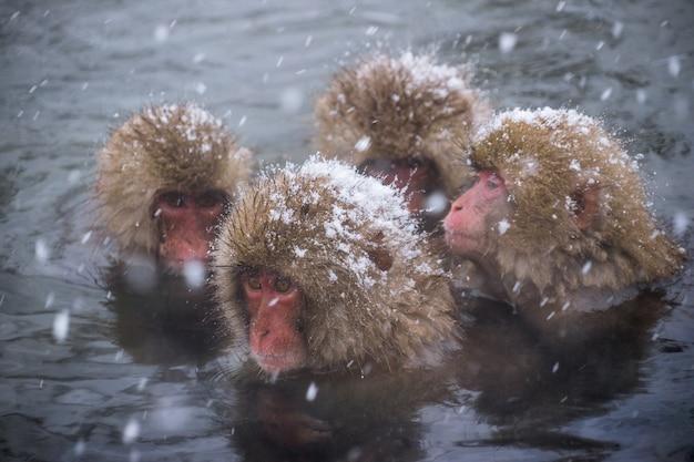 Os macacos da neve (macacos japoneses) tomam banho nas onsen hot springs enquanto a neve cai Foto Premium