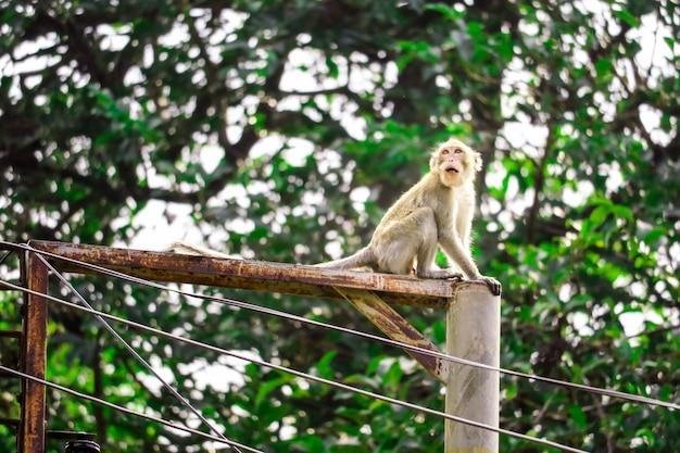 Os macacos da selva estão escalando postes elétricos para procurar rendas e frutas caindo no chão Foto Premium