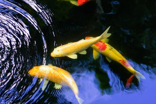Os peixes extravagantes coloridos da carpa ou os peixes do koi estão nadando. natação de koi fish na lagoa. Foto Premium
