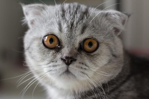 Os scottish dobram a pele cinzenta do gato listrada preta. Foto Premium