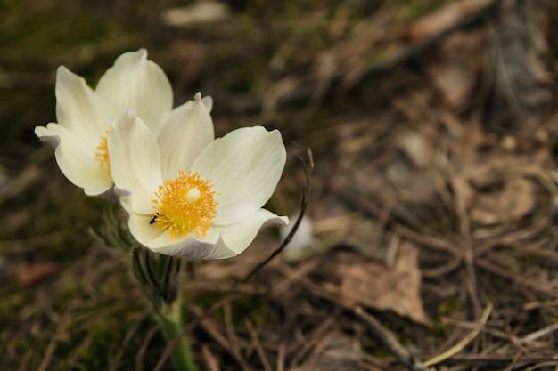 Os snowdrops brancos na floresta conífera copiam o espaço. Foto Premium