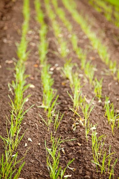 Outono campo de trigo de inverno close-up vista Foto Premium