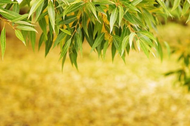 Outono folhas amarelas e verdes salgueiro. outono natural Foto Premium