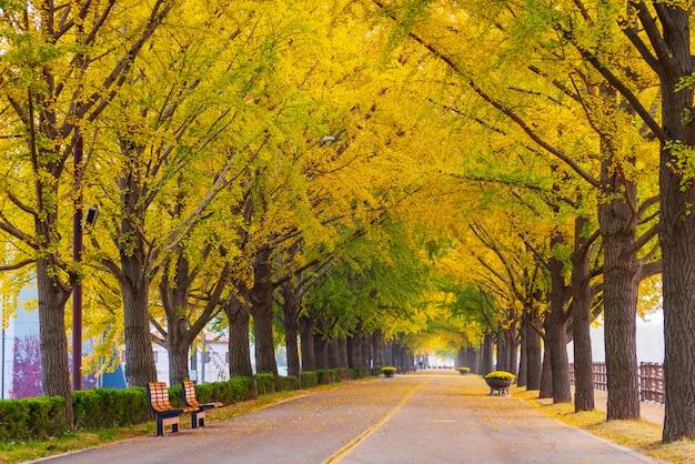 Outono na estrada da árvore de asan gingko em seoul, coreia do sul. Foto Premium