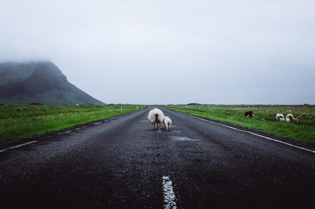 Ovelhas na estrada na islândia Foto gratuita