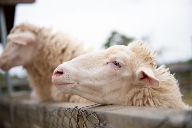 Ovelhas na fazenda e tem olhos de pena Foto Premium