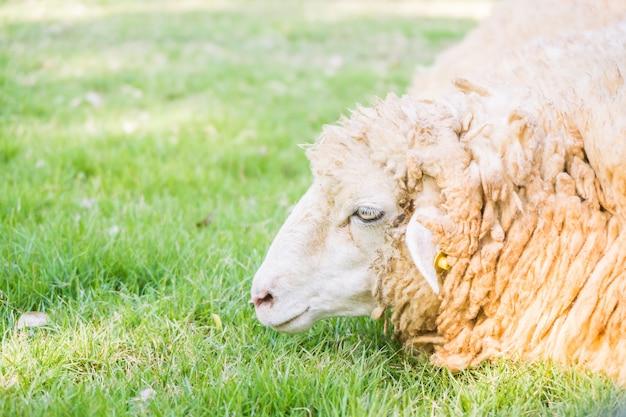 Ovelhas na grama verde Foto gratuita