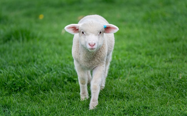 Ovelhas no campo verde Foto Premium