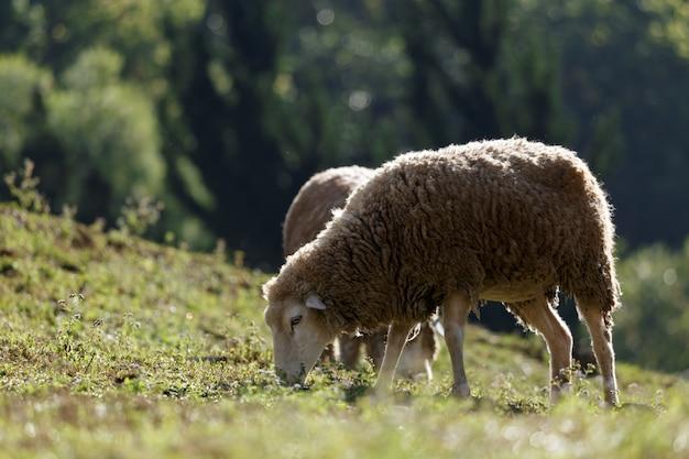 Ovelhas no prado bela montanha Foto Premium