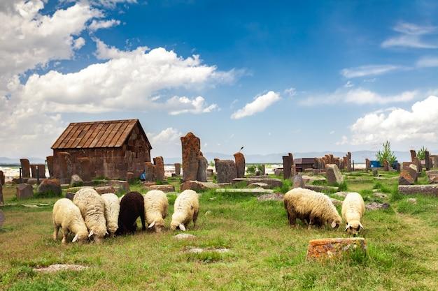 Ovelhas pastam em noratus Foto Premium