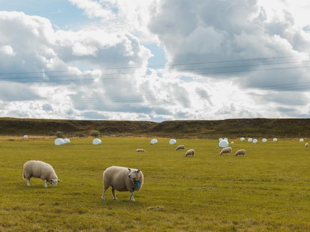 Ovelhas pastando no campo verde em uma área rural sob o céu nublado Foto gratuita