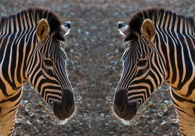 Padrão e pele de zebra. Foto Premium
