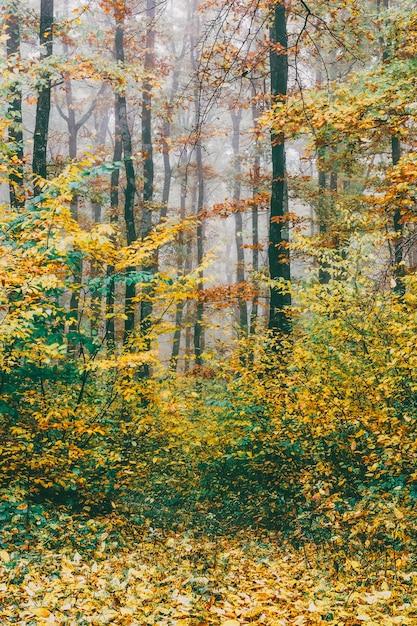 Paisagem de outono floresta colorida, pitoresca na névoa da manhã. Foto Premium