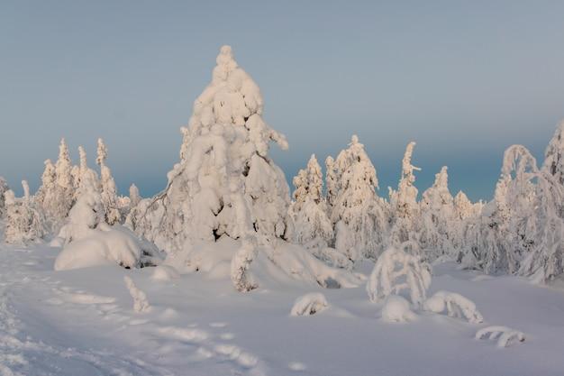 Paisagem do inverno com as árvores cobertos de neve na floresta do inverno. Foto Premium