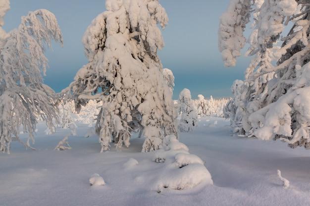 Paisagem do inverno com as árvores cobertos de neve tykky na floresta do inverno. Foto Premium