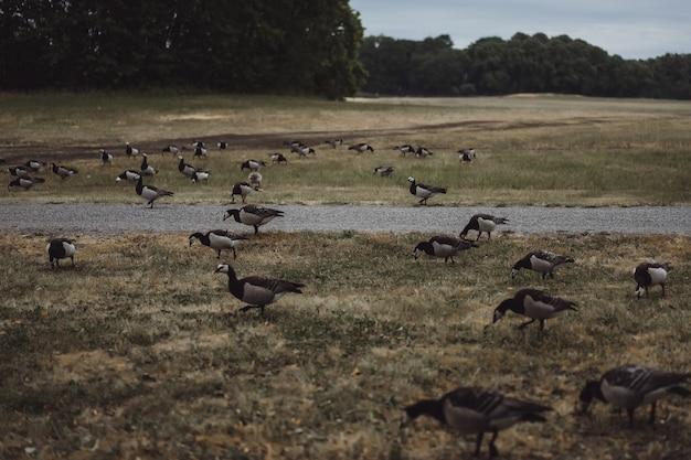 Paisagem do país, gansos atravessam a estrada Foto gratuita